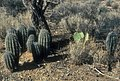 Young saguaros under nurse tree.jpg