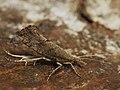 Ypsolopha chazariella - Серпокрылая моль кленовая (39560862360).jpg