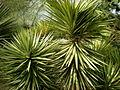 Yucca aloifolia marginata 1c.JPG