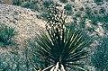 Yucca grandiflora fh 0401 MEX B.jpg