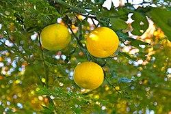 https://upload.wikimedia.org/wikipedia/commons/thumb/a/a6/Yuzu_oranges_%286459456959%29.jpg/250px-Yuzu_oranges_%286459456959%29.jpg