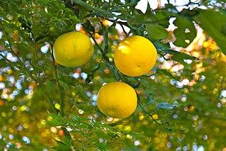 <i>Yuzu</i> citrus fruit and plant