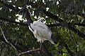 ZSL London - Sacred Ibis 04.jpg
