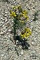 Zakynthos flora (35731245702).jpg