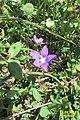 Zakynthos flora (35742113241).jpg