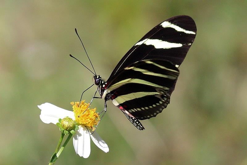 Bộ sưu tập cánh vẩy 4 - Page 46 800px-Zebra_%28Heliconius_charithonia_ramsdeni%29_underside
