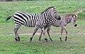 Zebra Opole cropped.jpg