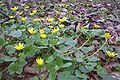 Ziarnoplon wiosenny cm01.jpg