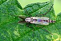 Zuckmücke Ganzkörpersicht.jpg