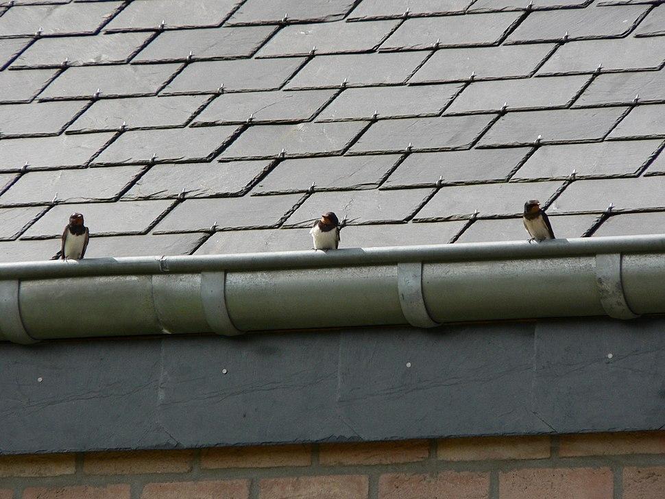 Zwaluwen op dakgoot schaliedak