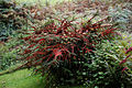 'Cotoneaster horizontalis' in Nuthurst West Sussex England.jpg