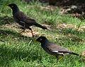 (1)Mynah birds.jpg