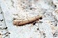 (1474) Ephestia parasitella - Flickr - Bennyboymothman (1).jpg