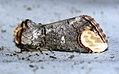 (1994) Buff-tip (Phalera bucephala) (4659229052).jpg