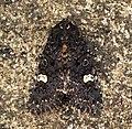 (2155) Dot Moth (Melanchra persicariae) (5857059457).jpg