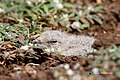 (3 5) A Small Pratincole chick hiding with its eyes closed. (49893978768).jpg