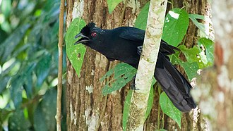 Treepie - Image: (Bornean) Black Magpie