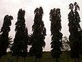 (Polyalthia longifolia) Trees at Mudasarlova Reservoir Park 002.jpg