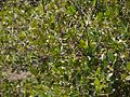 ¿ Atalantia racemosa ? (6841551947).jpg