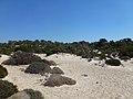 Αμμοθίνες και βλάστηση στη Νήσο Χρυσή - Sand dunes and vegetation on Chrysi island 02.jpg