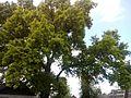 Багатовіковий дуб, Прилуцький район, м. Прилуки,вул. Гірняка,11 (напроти Боброва,35) 74-107-5003 04.jpg