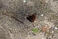 Вепрове Сонцевик павиче око DSC 0539.jpg