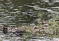 Горная трясогузка - Motacilla cinerea - Grey Wagtail - Планинска стърчиопашка - Gebirgsstelze (22163212951).jpg
