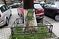Група вікових дерев береки 05.JPG