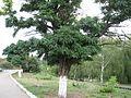 Дерево на улице Ленина - panoramio.jpg