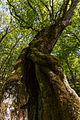Древній ліс.jpg