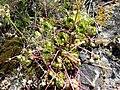 Каменные розы (Молодило) на скалах горы Шелудивой.jpg