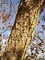 Космат дъб – стъбло.jpg