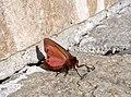 Медведица бурая - Ruby Tiger - Phragmatobia fuliginosa - Zimtbär (17080246056).jpg