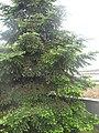 Молоді гілкі ялинки, Севастополь.jpg
