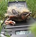 Пташеня степового жайворонка на електроних терезах.jpg