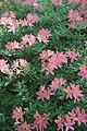 Рододендрон японский в Минском ботаническом саду.jpg