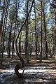 Танцующий лес 04.JPG