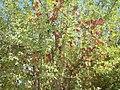 درخت سیب.jpg