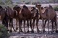 چرای گله شتر - حوالی کاروانسرای دیر گچین قم - پارک ملی کویر 19.jpg