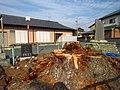 「悲報」台風被害により18日に倒壊した。西大渕大松( >Д<;) - panoramio.jpg