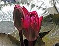 印度紅睡蓮 Nymphaea rubra -青島中華睡蓮世界 Qingdao International Horticultural Expo, China- (14669352225).jpg
