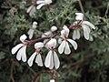 天竺葵屬 Pelargonium abrotanifolium -英格蘭 Wisley Gardens, England- (9227005929).jpg