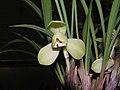 春蘭蜀意白荷 Cymbidium goeringii 'Sichuan-style White Lotus' -香港沙田國蘭展 Shatin Orchid Show, Hong Kong- (12316676945).jpg