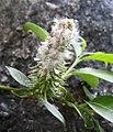 柳屬 Salix caprea v sphacelata -挪威 Briksdal Glacier, Norway- (35347106693).jpg