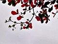欖仁樹 Terminalia catappa 20210121125731 02.jpg