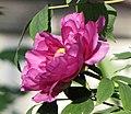 江南牡丹-徽紫 Paeonia suffruticosa 'Anhui Purple' -上海古猗園 Shanghai, China - (17024706999).jpg