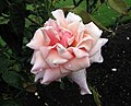 玫瑰 First Love -紐西蘭 Tauranga Robbins Park, New Zealand- (32712140408).jpg