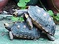紅腿象龜 Chelonoidis carbonaria - panoramio (5).jpg