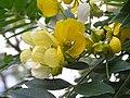 美麗決明(美國槐) Cassia spectabilis -香港禮賓府 Hong Kong Government House- (9216097140).jpg