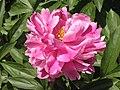 芍藥-桃花爭艷 Paeonia lactiflora 'Peaches Competing for Beauty' -上海植物園 Shanghai Botanical Garden- (12380298653).jpg